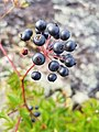 Some kinda berries along the Walking on Ancient Mountains Trail in Nopiming Provincial Park in Manitoba, Canada. (43529444055).jpg