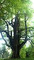 Somerlinde, Naturdenkmal beim Pleschwirt.jpg