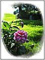 Sonnbichel Dahlie - panoramio.jpg