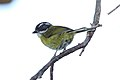 Sooty-capped Bush-tanager (Chlorospingus pileatus) (5772317986).jpg