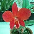 Sophronitis cinnabarina x coccinea -香港北區花鳥蟲魚展 North District Flower Show, Hong Kong- (9204820985).jpg