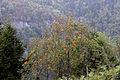 Sorbus aucuparia - Kuş üvezi 02.jpg