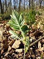 Sorbus domestica sl29.jpg