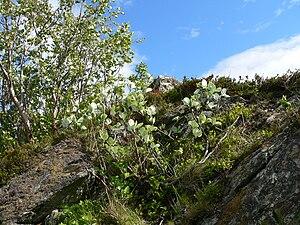 Sorbus rupicola - Rock whitebeam at the Trondheimsfjord, Norway