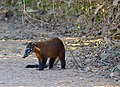 South American Coati (Nasua nasua) male (30942722504).jpg