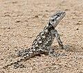 Southern Tree Agama (Acanthocercus atricollis) female (33505599966).jpg
