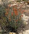 Sphaeralcea ambigua 10.jpg