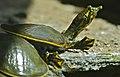 Spiny Softshell Turtles (Apalone spinifera) juvenile (9184305141).jpg
