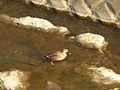 Spot-billed Duck カルガモ (398841969).jpg