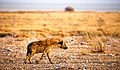 Spotted Hyena (230073667).jpeg