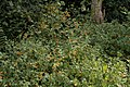 Spotted Jewelweed (Impatiens capensis) - Kitchener, Ontario 02.jpg