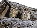 Spotted Owlet (106032455).jpg