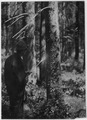 Spraying the lower part of an infected tree to combat insects - NARA - 286075.tif