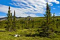 Spruce trees, tors and caribou antlers at Wolf Creek campsite, Ivvavik National Park, YT.jpg