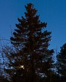 Spruce with Moon and Mars in Tuntorp, Lysekil.jpg