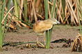 Squacco Heron, Ardeola ralloides at Marievale Nature Reserve, Gauteng, South Africa (15643504982).jpg