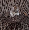 Squirrel in Prospect Park (92553).jpg