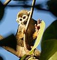 Squirrel monkey waving (4233061919).jpg