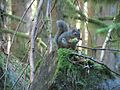 Squirrel munching pinecone (9378493237).jpg