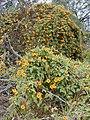 Starr-010419-0047-Thunbergia alata-flowering habit-Kula-Maui (24532216985).jpg