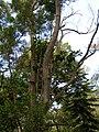 Starr-050517-1565-Ficus macrophylla-in tree-Puu o Hoku Ranch-Molokai (24136338263).jpg