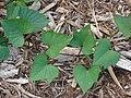 Starr-061106-1422-Ipomoea batatas-habit-Maui Nui Botanical Garden-Maui (24868325795).jpg