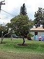 Starr-090417-6131-Banksia integrifolia-habit-Haliimaile-Maui (24321578444).jpg