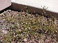 Starr-090504-7214-Erodium cicutarium-flowering habit-Science City-Maui (24927837866).jpg