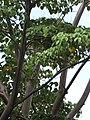 Starr-090720-3132-Ochroma pyramidale-leaves and bark-Tropical Gardens of Maui Iao Valley Rd-Maui (24970304995).jpg