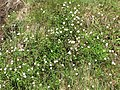 Starr-100603-6863-Erigeron karvinskianus-flowering habit-Polipoli-Maui (24945834631).jpg