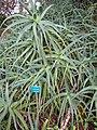 Starr-110307-2148-Aloe arborescens-habit with sign-Kula Botanical Garden-Maui (24450831323).jpg