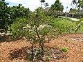 Starr-120406-9286-Citrus aurantifolia-habit-Kawela-Molokai (25139236095).jpg