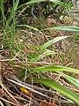 Starr-120425-4803-Dianella sandwicensis-form lavarum-Waikapu Valley-Maui (24844048890).jpg