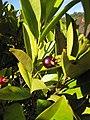 Starr-130304-2012-Eugenia brasiliensis-fruit and leaves-Montrose Crater Rd Kula-Maui (24910562460).jpg