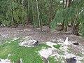 Starr-150403-0560-Coronopus didymus-ironwoods edge and Laysan Albatrosses-Rusty Bucket Sand Island-Midway Atoll (25184072181).jpg