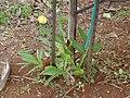 Starr 020620-0098 Alpinia zerumbet.jpg