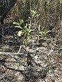 Starr 031013-0008 Acacia auriculiformis.jpg