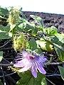 Starr 040410-0019 Passiflora foetida.jpg