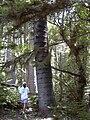 Starr 040812-0067 Araucaria columnaris.jpg