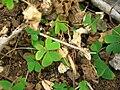 Starr 050419-0342 Oxalis corniculata.jpg