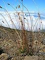 Starr 051013-4818 Plantago lanceolata.jpg