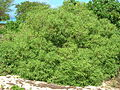 Starr 060216-5997 Myoporum sandwicense.jpg