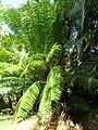 Starr 060905-8756 Cycas circinalis.jpg