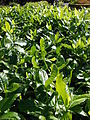 Starr 061222-2602 Gardenia brighamii.jpg