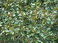 Starr 070308-5376 Magnolia grandiflora.jpg