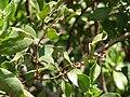 Starr 070404-6631 Conocarpus erectus.jpg