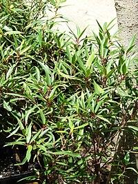 Starr 070906-8768 Ficus neriifolia var. nemoralis