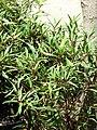 Starr 070906-8768 Ficus neriifolia var. nemoralis.jpg