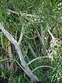 Starr 071024-0202 Euphorbia tirucalli.jpg