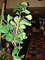 Starr 071224-0618 Ficus lyrata.jpg